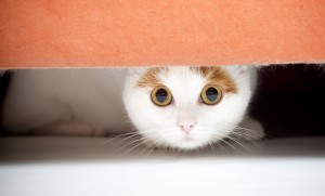 Cat hiding under sofa
