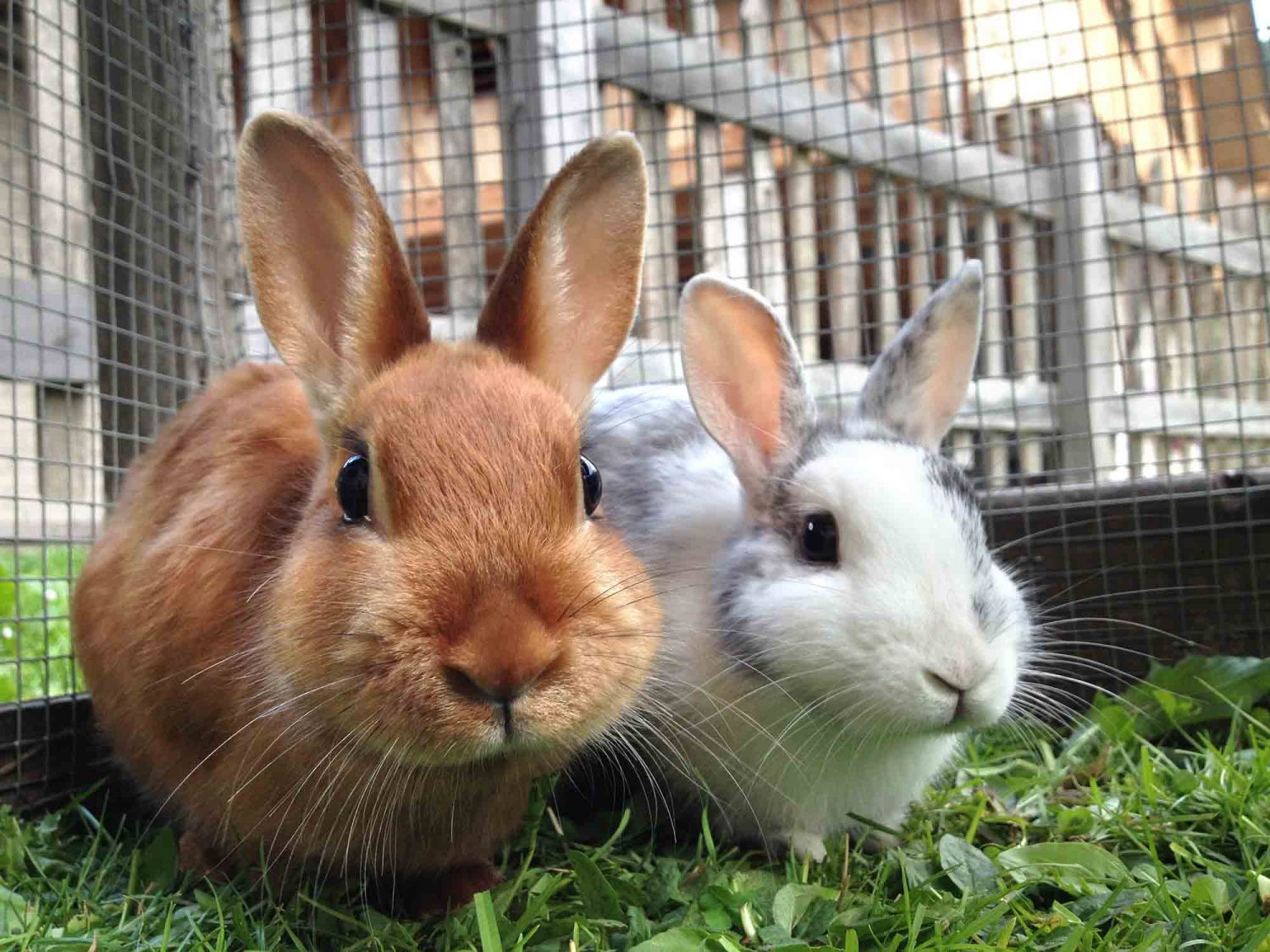 rabbit care Wild rabbits often make their nests in areas that boggle our minds such as when a domestic rabbit refuses to care for her young, you will need to feed the babies.