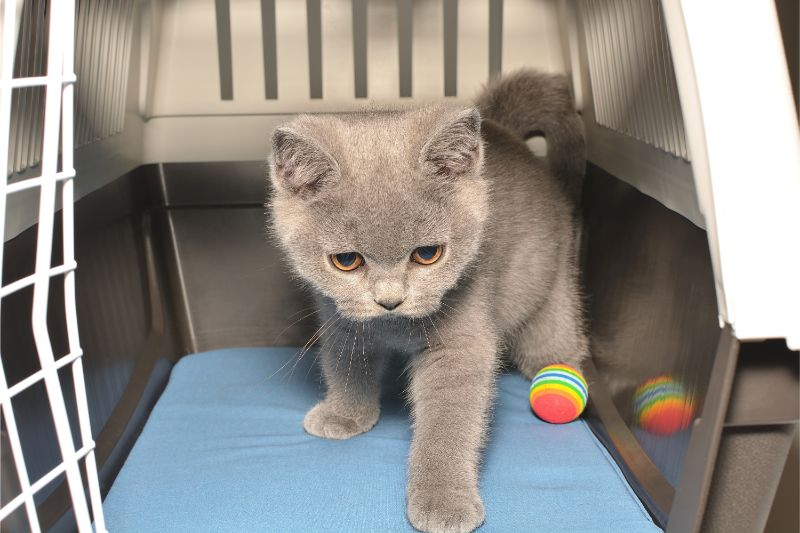 Gray kitten in carrier