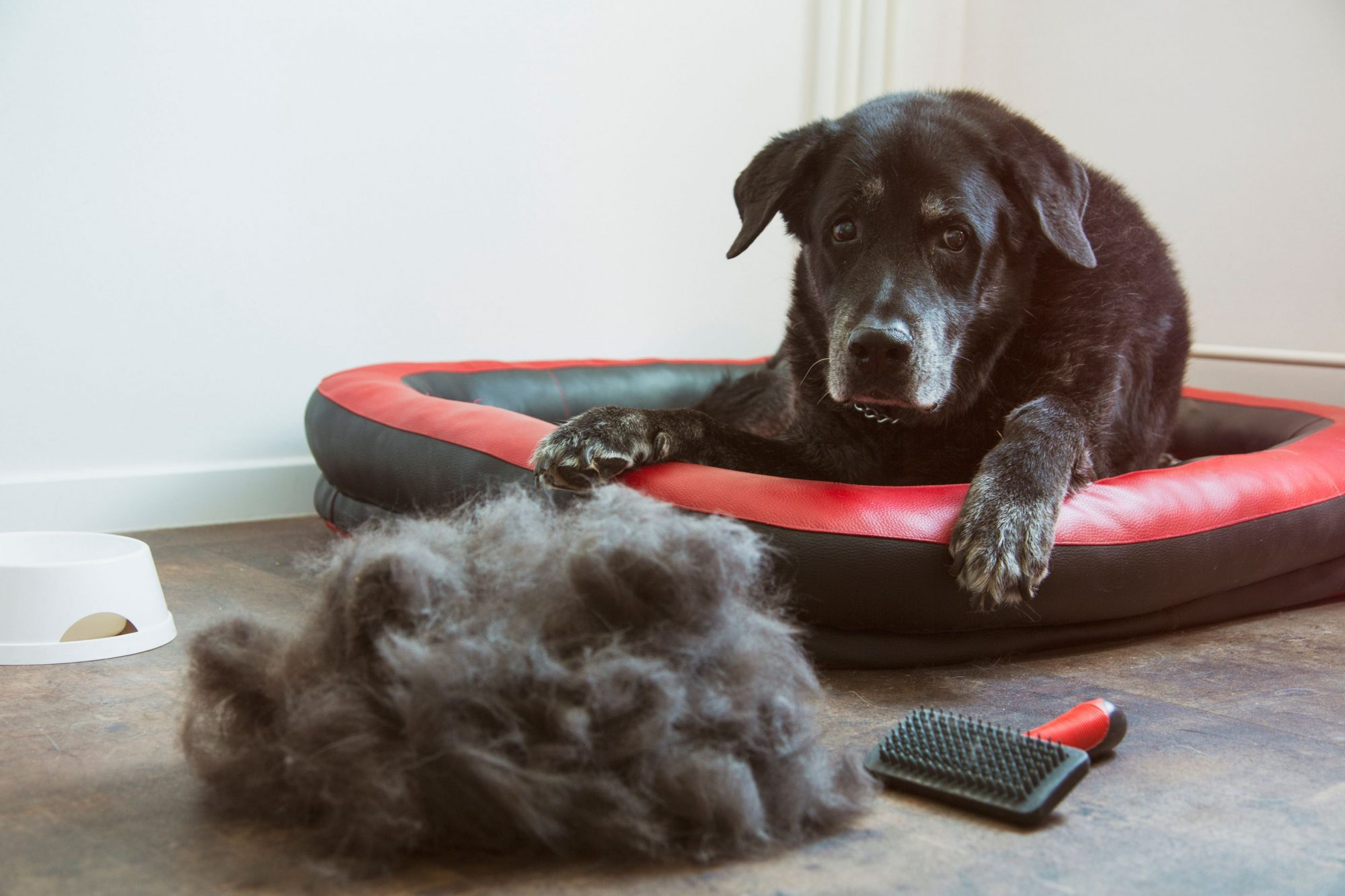 A dog looks at a pile of his hair that has been brushed out.