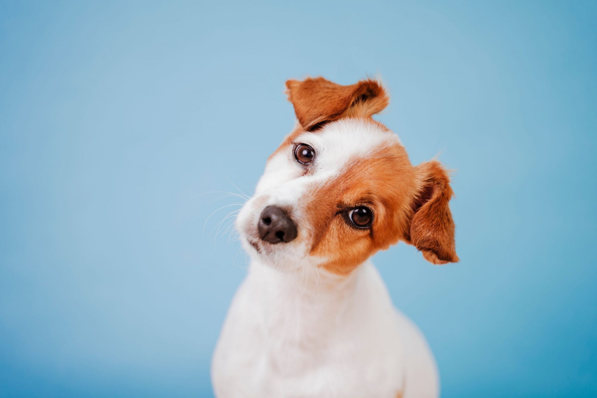 Dog tilting head to the side wondering if pet vaccines help her.
