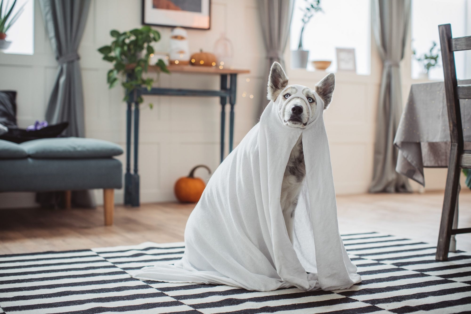Dog as ghost-pet safe Halloween costume.